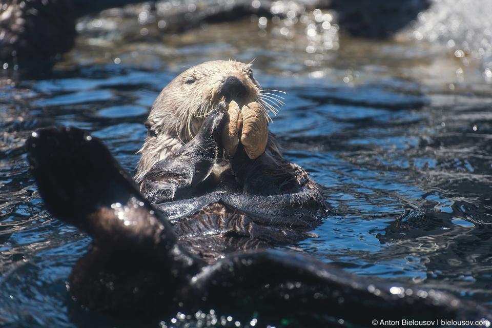 Sea Otter in Seattle Aquarium