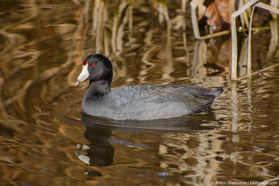 American Coot — George C. Reifel Bird Sanctuary, Ladner, BC