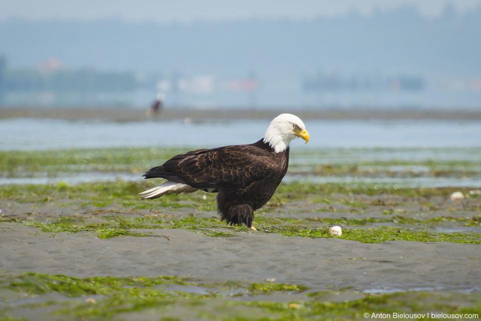 Bald Eagle — Centennial Beach (Tsawwassen), Delta, BC