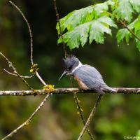 Belted Kingfisher / Опоясанный пегий зимородок