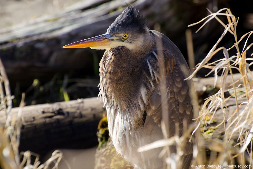 Great Blue Heron (male) — Richmond, BC