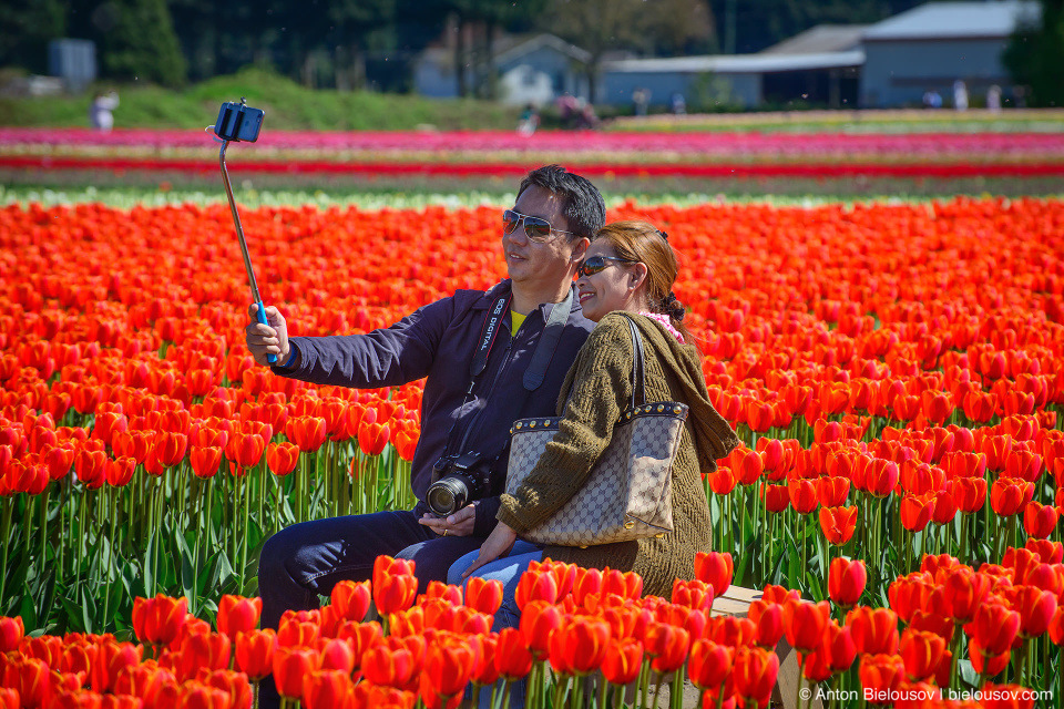 Фестиваль тюльпанов — Tulips of the Valley: Fraser Valley Tulip Festival