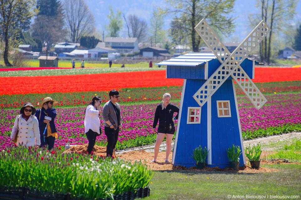 Фестиваль тюльпанов — Tulips of the Valley: Fraser Valley Tulip Festival: мельница