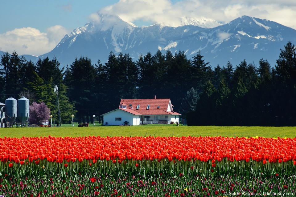 Фестиваль тюльпанов — Tulips of the Valley: Fraser Valley Tulip Festival (Cheam Peak)
