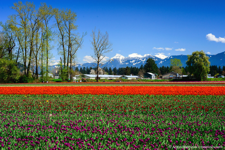 Фестиваль тюльпанов — Tulips of the Valley: Fraser Valley Tulip Festival