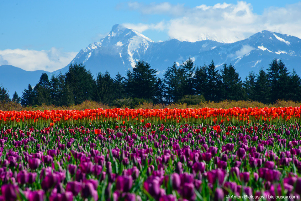Фестиваль тюльпанов — Tulips of the Valley: Fraser Valley Tulip Festival (Cheam Peak)