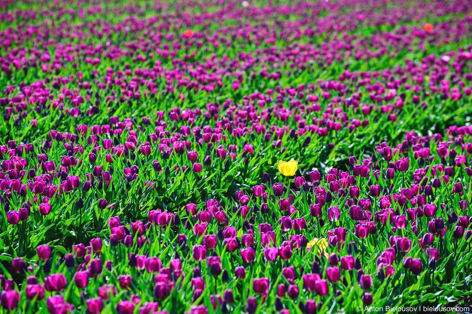 Тюльпановые поля
