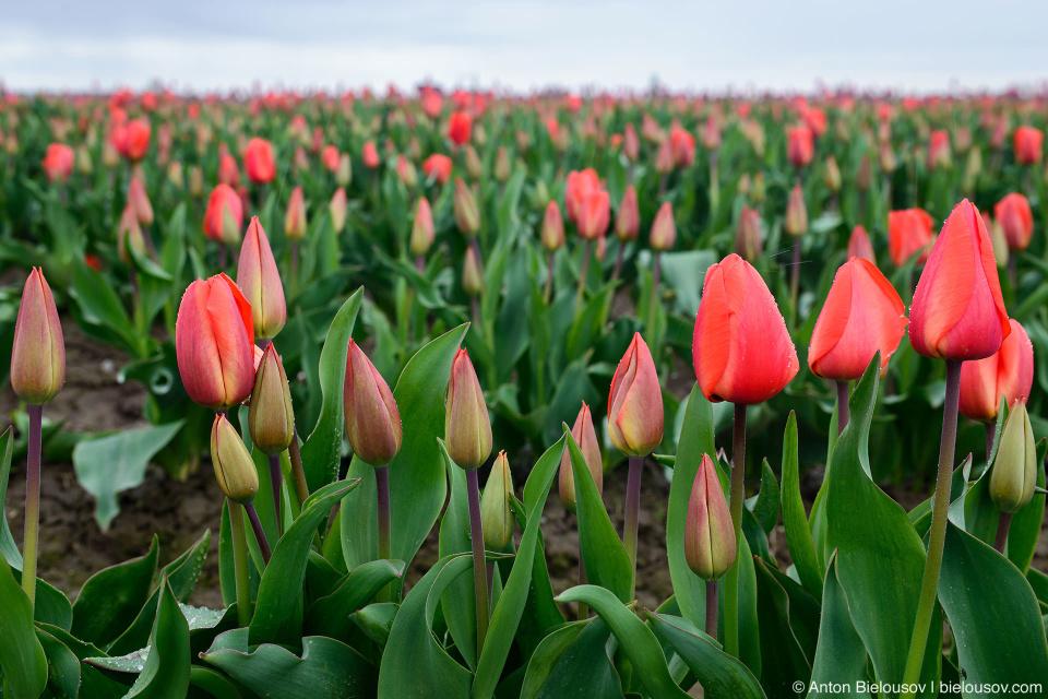 Тюльпановое поле (США)