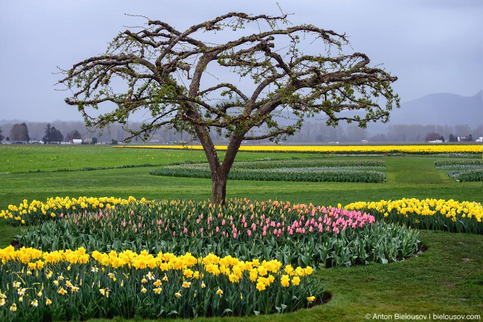 Тюльпановая ферма Roozengaarde (США)