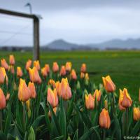 Фестиваль тюльпанов без тюльпанов