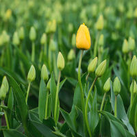 А что касается тюльпанов, то в прошлом году в это время они уже отцветали, а в этом еще не зацвели.