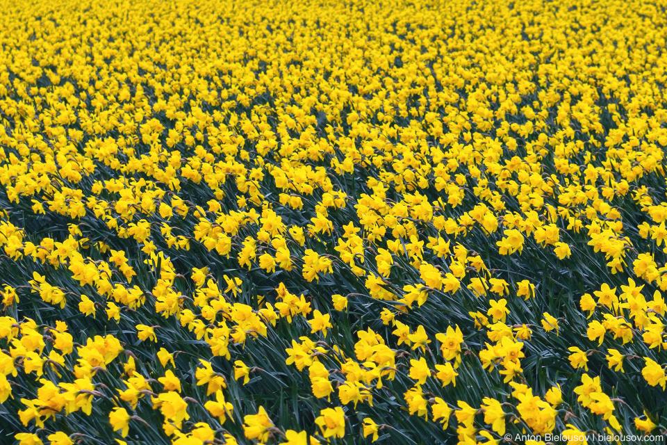 Нарциссовое поле (США)