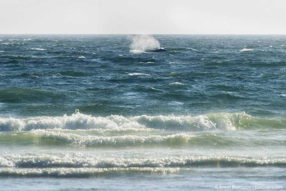 Humpback Whale, Long Beach (Pacific Rim National Park, BC)