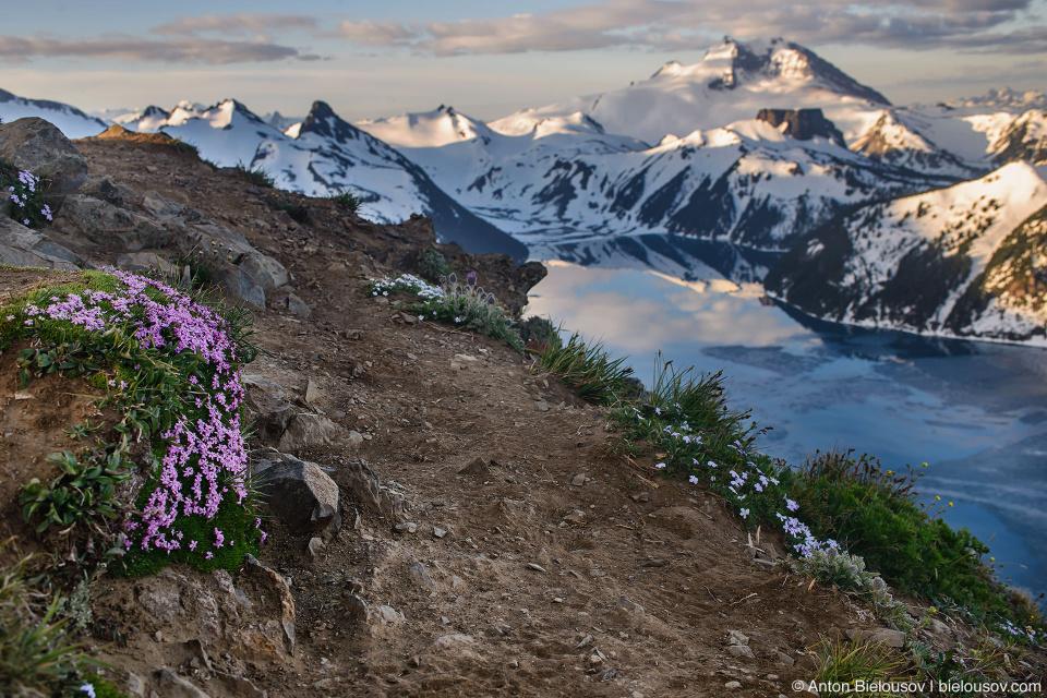 Альпийские цветы проломника на пике Panorama Ridge