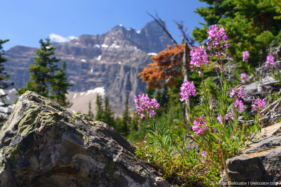 Fireweed Flowers at Eiffel Lake Trail (Lake Moraine, Banff National Park)