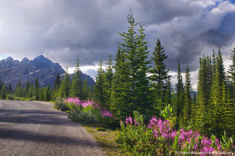 Fireweed flowers at road to Peyto Lake (Banff National Park)