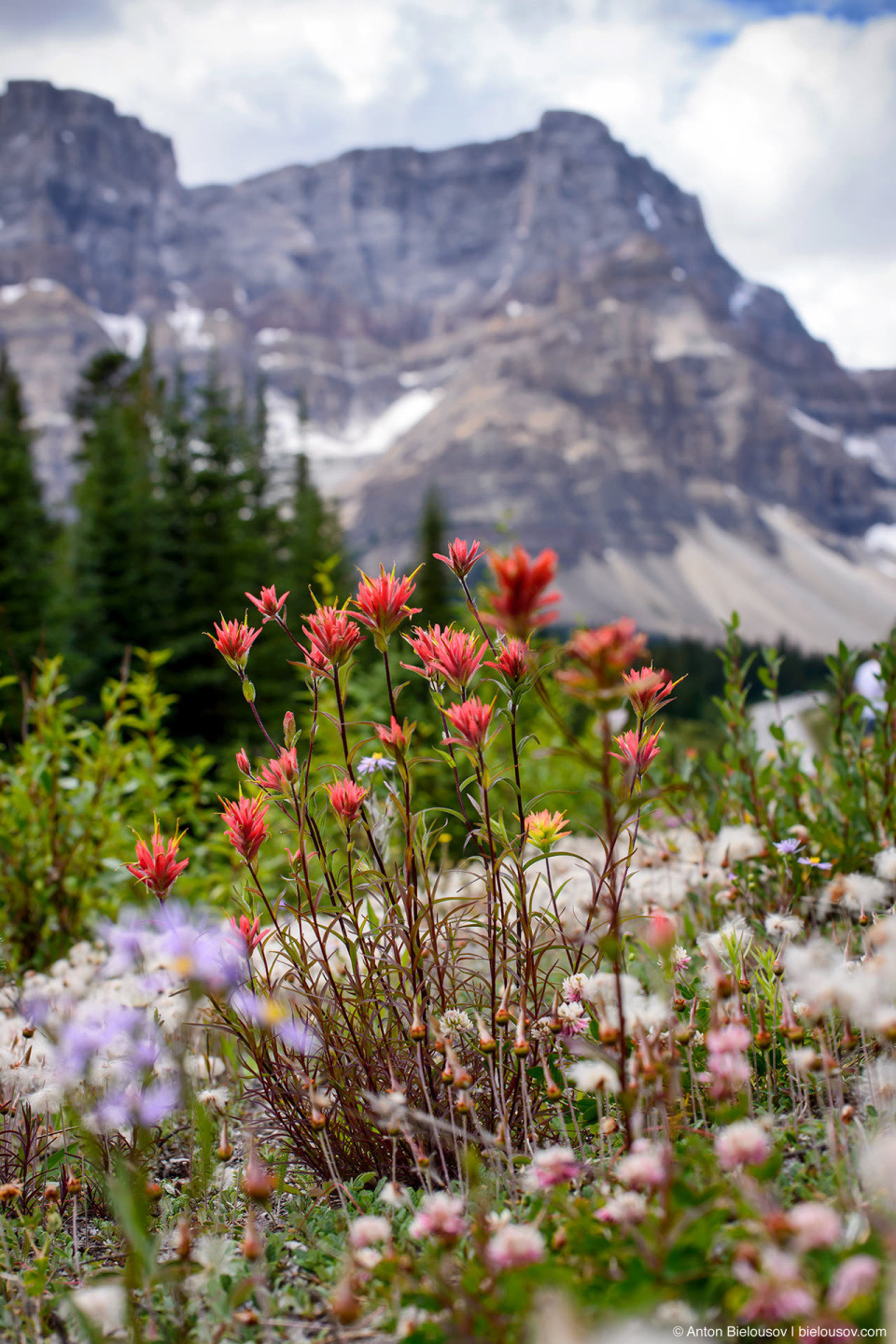 Indian Paintbrush and other roadside mountain flowers at Icefields Parkway (Banff National Park)