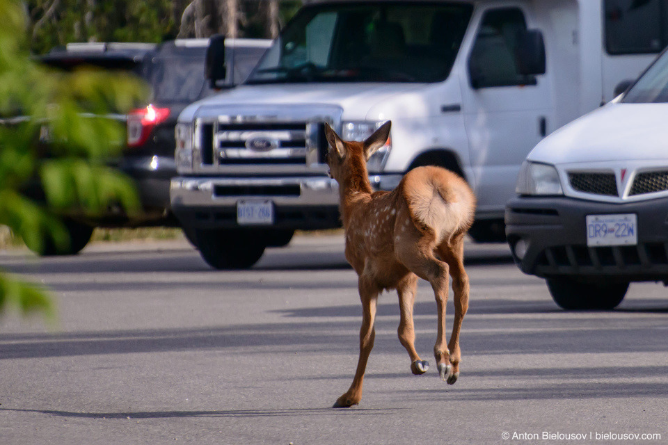Rocky Mountain Baby Elk on parking lot (Jasper, AB)