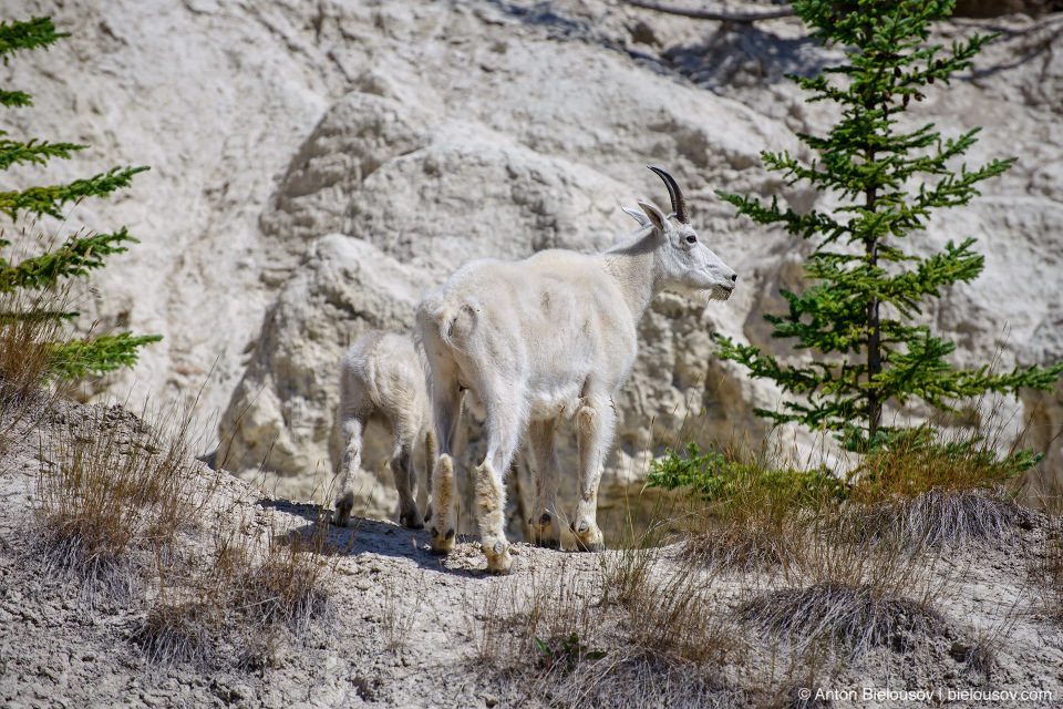 Mountain goats at Goats and Glaciers lookout, Jasper National Park