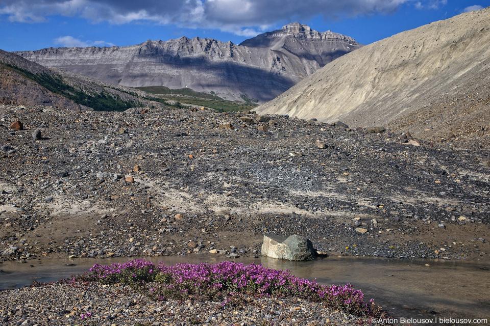 Fireweeds at Sunwapta River source near Athabasca Glacier, Columbia Icefield, Jasper National Park