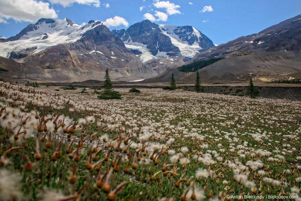 Cottongrass fields in Sunwapta river bed near Athabasca Mountain, Columbia Icefield, Jasper National Park