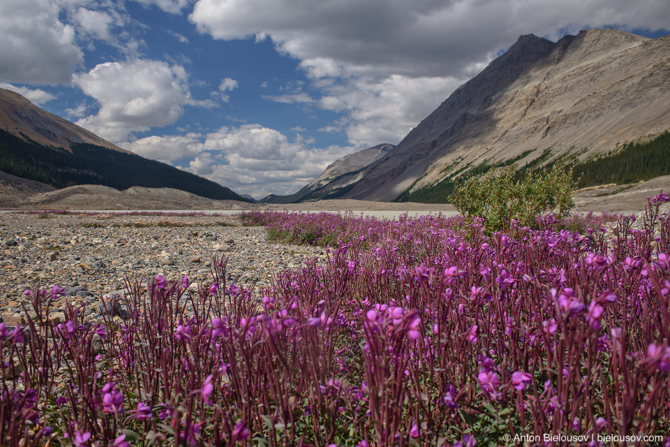 Fireweeds at Athabasca Glacier, Columbia Icefield, Jasper National Park