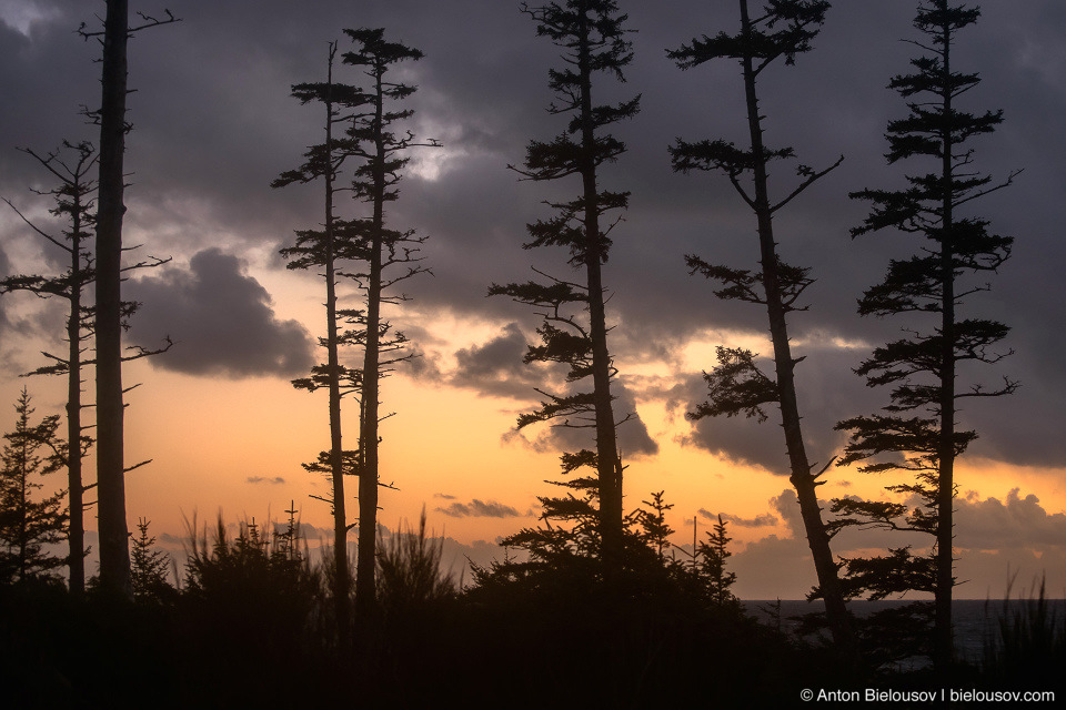 Shore trees in Ucluelet, BC