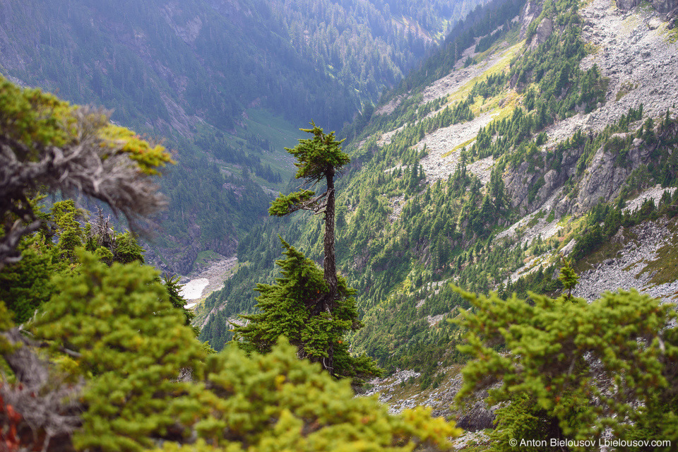 Lonely tree at Golden Ears Peak Trail