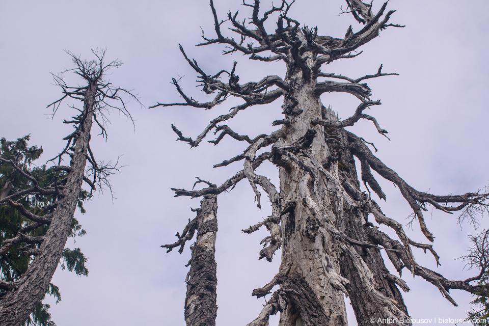 Dry trees at Golden Ears Peak Trail