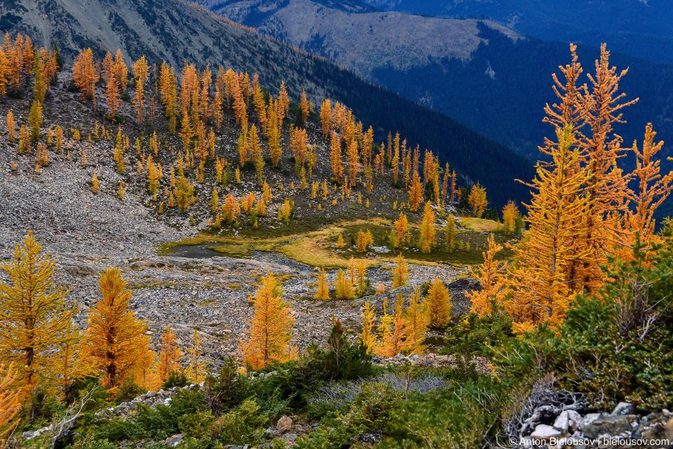 Роща желтых лиственниц на тропе на пик Mount Frosty, Manning Provincial Park, BC