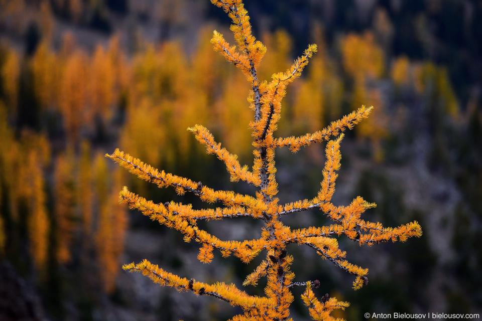 Желтые лиственницы, Manning Provincial Park, BC