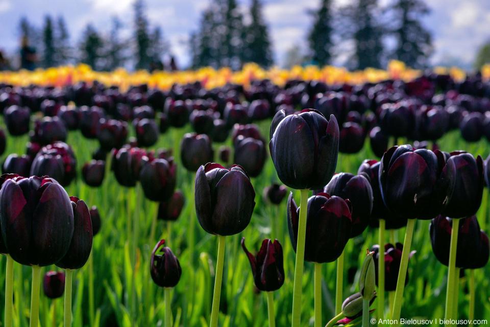 Black tulips at Wooden Shoe Tulip Fest
