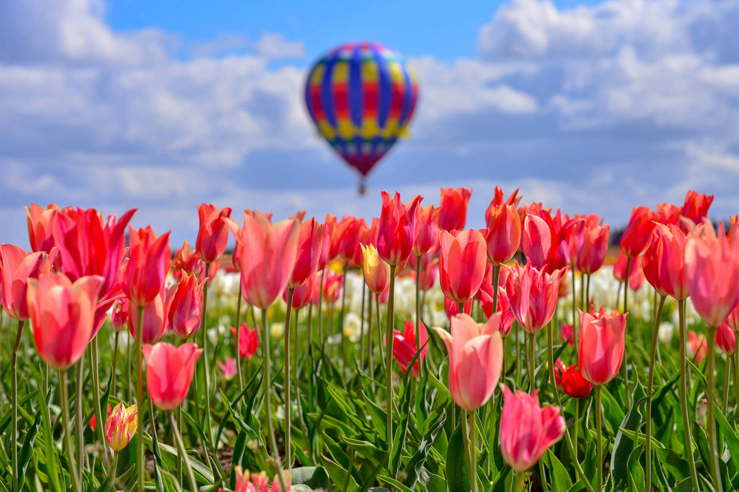 Hot air balloon at Wooden Shoe Tulip Fest