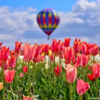 США: Фестиваль тюльпанов в Орегоне