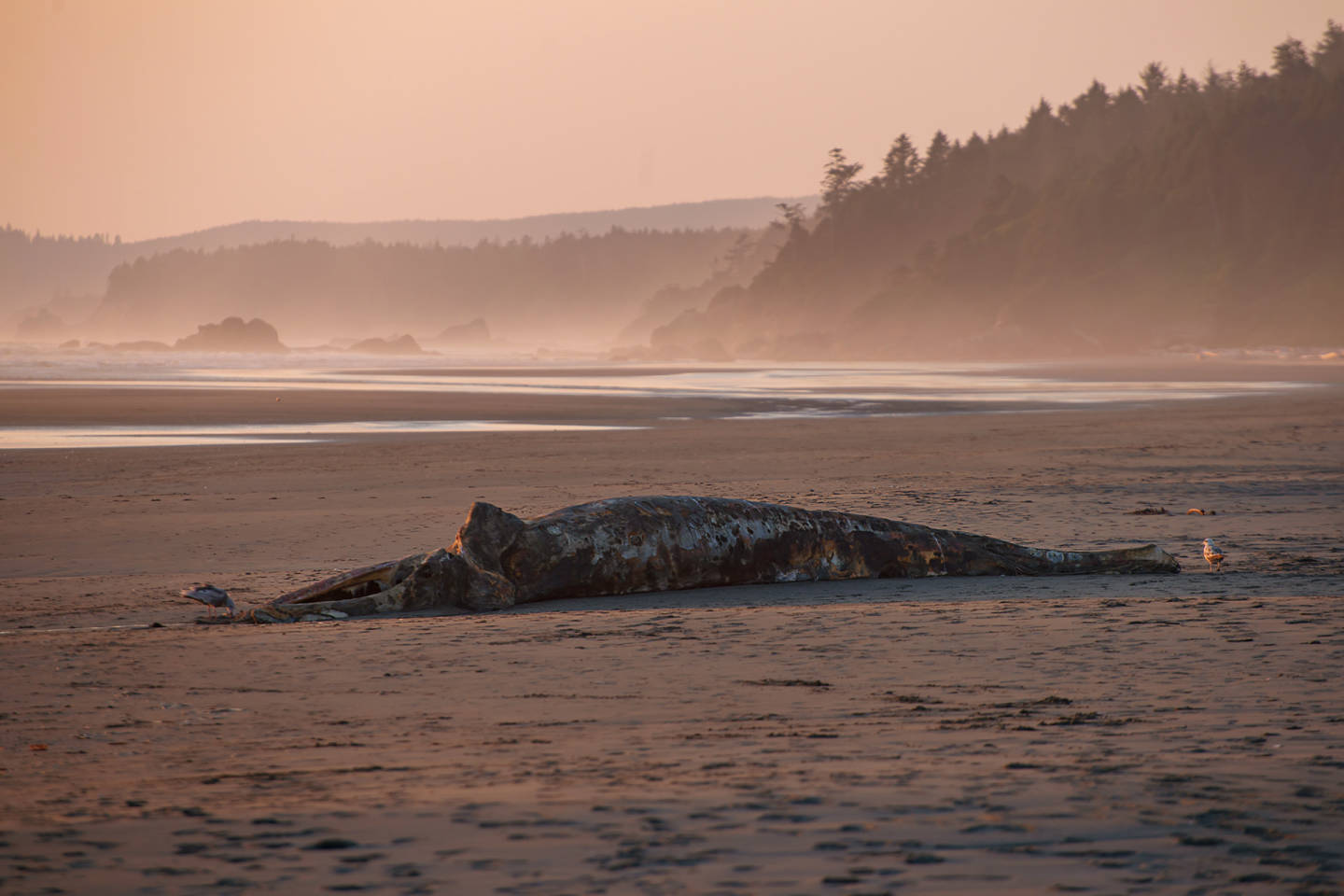 Beached Whale at Kalaloch Beach, Olympic NP