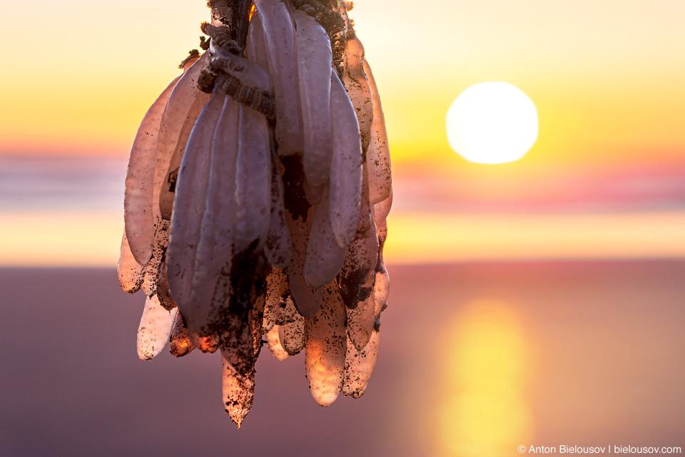 Squid eggs — Kalaloch Beach, Olympic National Park, WA