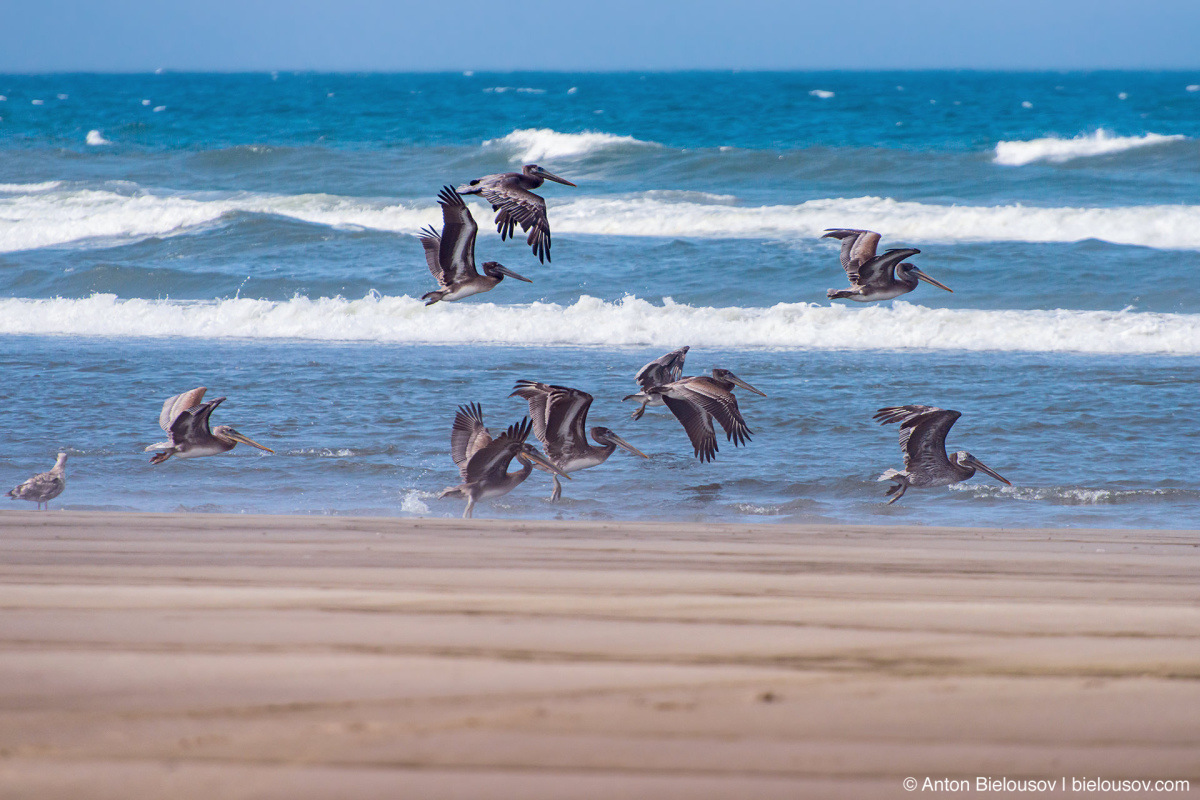 Brown pelicans — Long Beach, WA