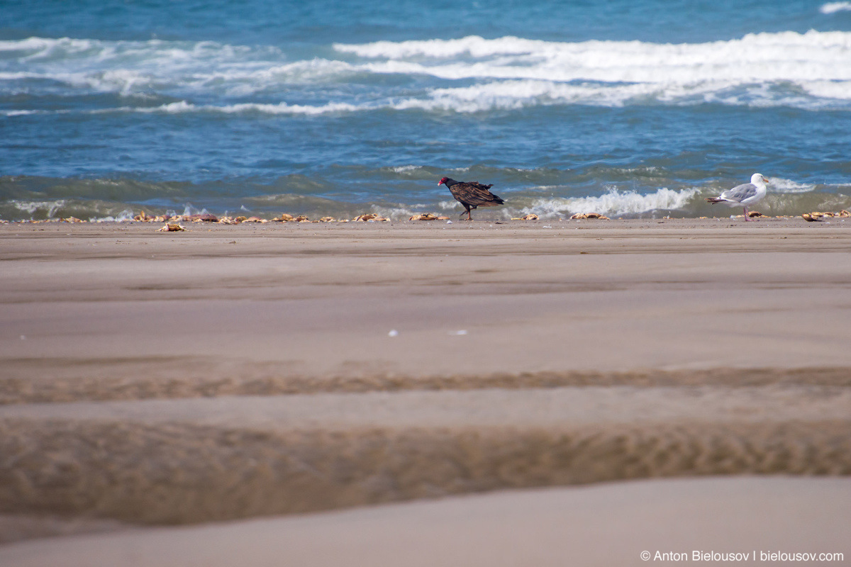 Turkey vulture — Long Beach, WA