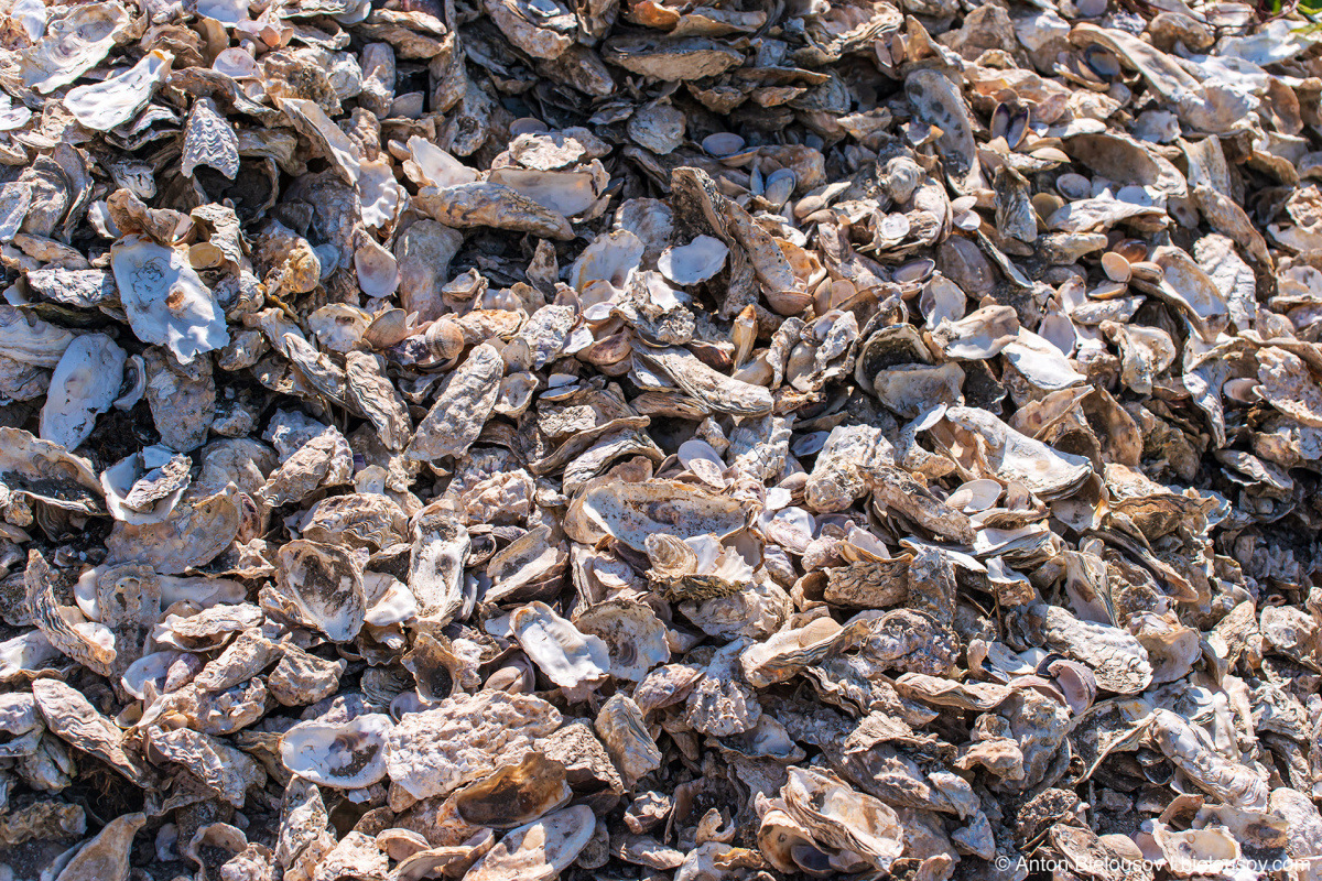 Oyster shells — Oysterville, WA