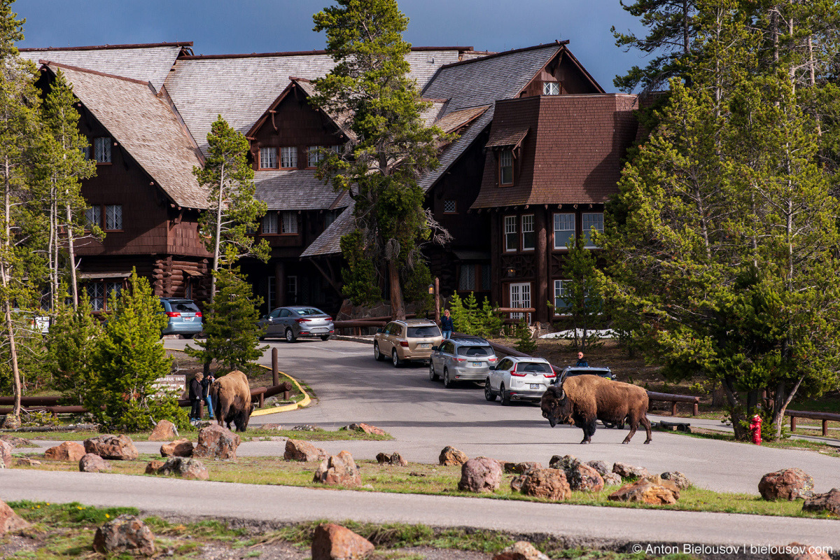 Bison at Old Faithful Parking Lot — Yellowstone, NP