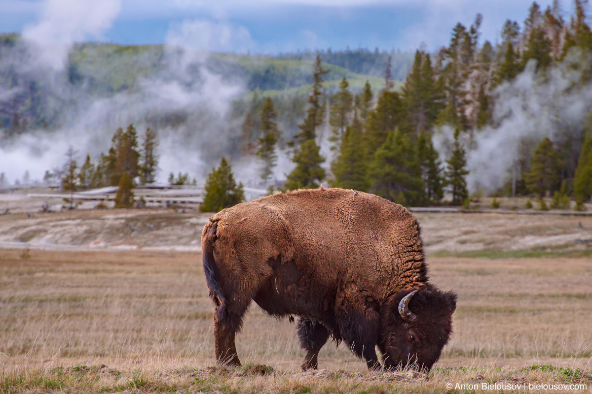 Bison at Old Faithful — Yellowstone, NP