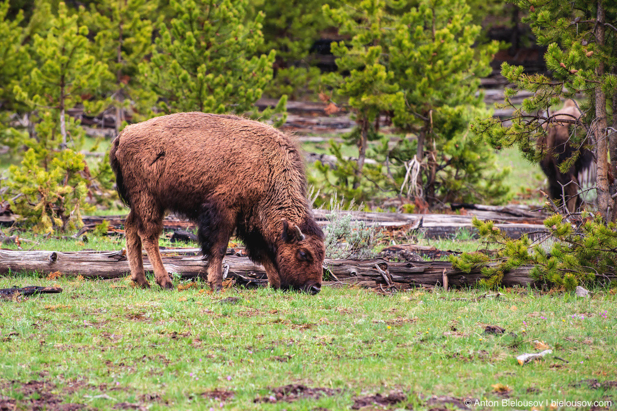 Bison calf — Yellowstone, NP
