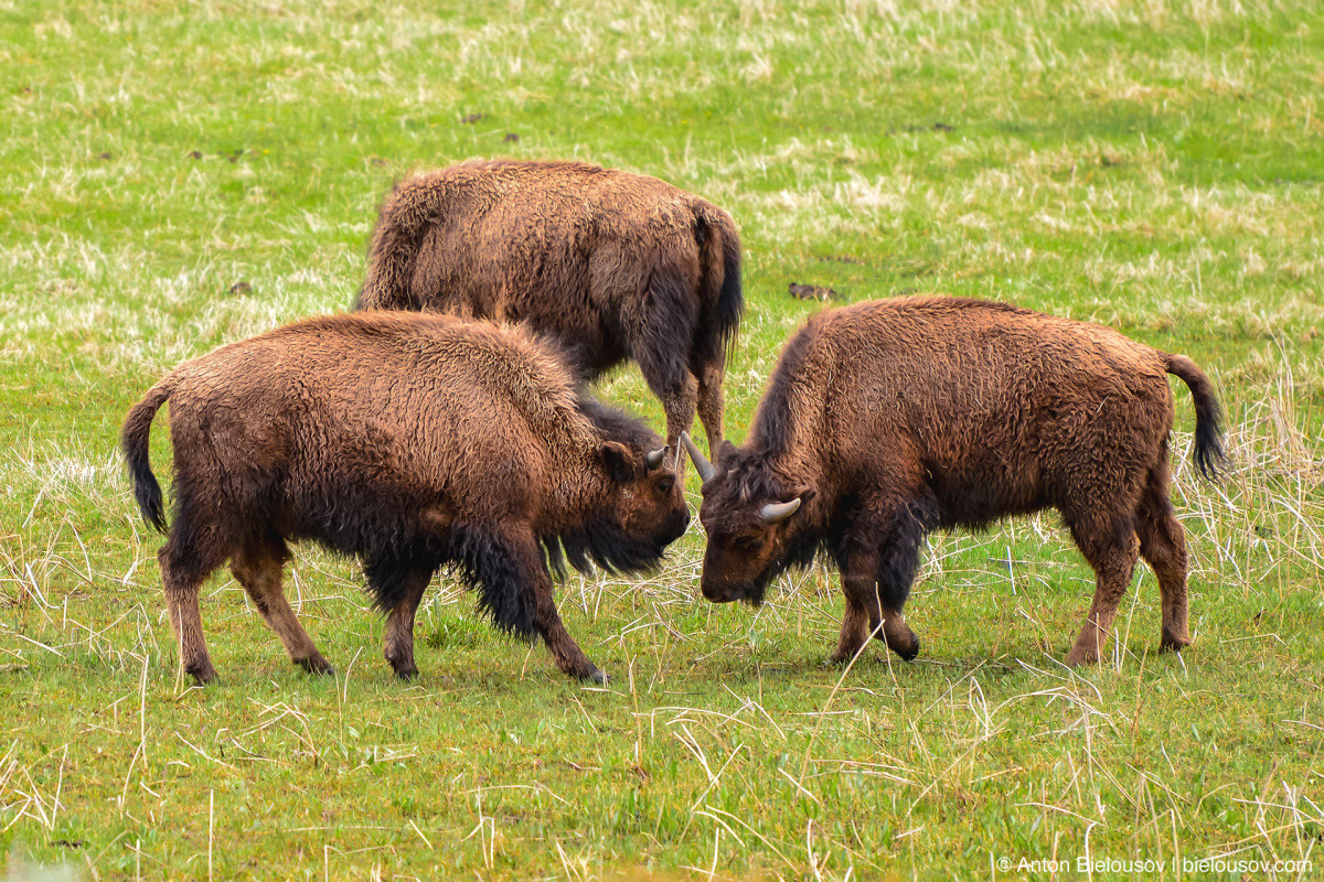 Bison Fight — Yellowstone, NP
