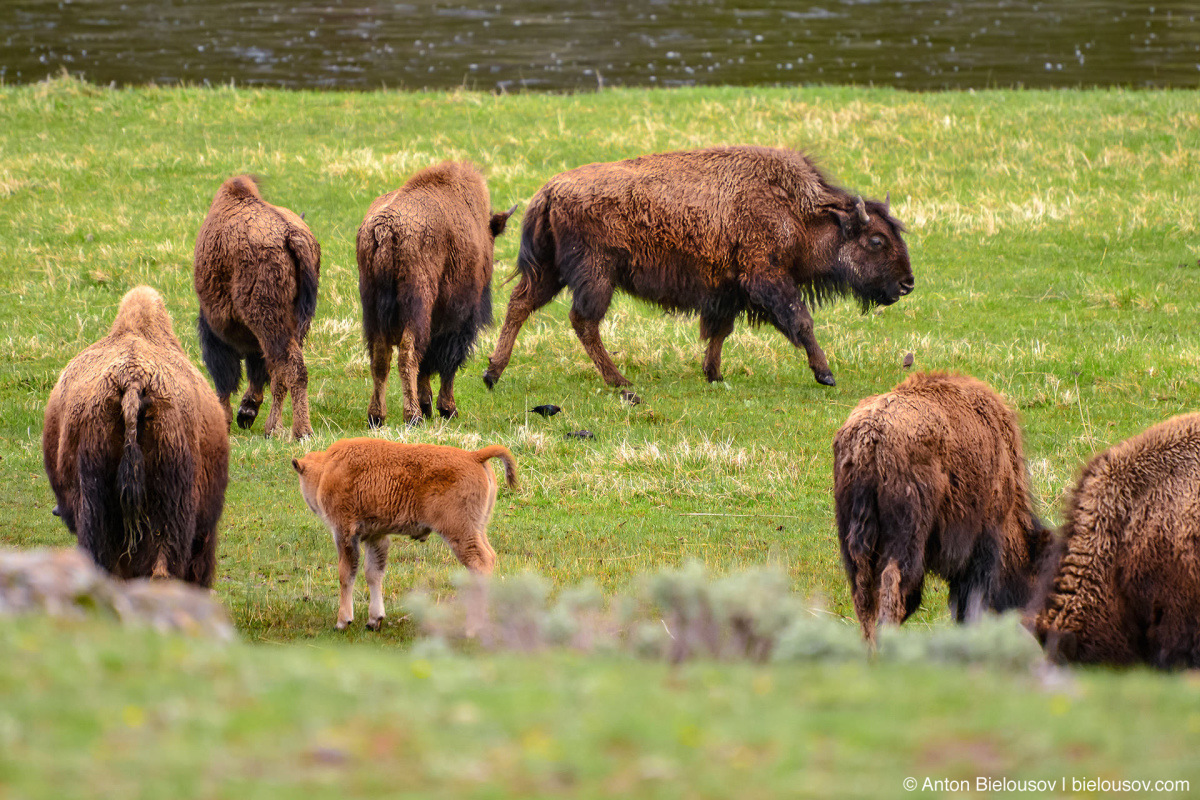 Bison herd — Yellowstone, NP
