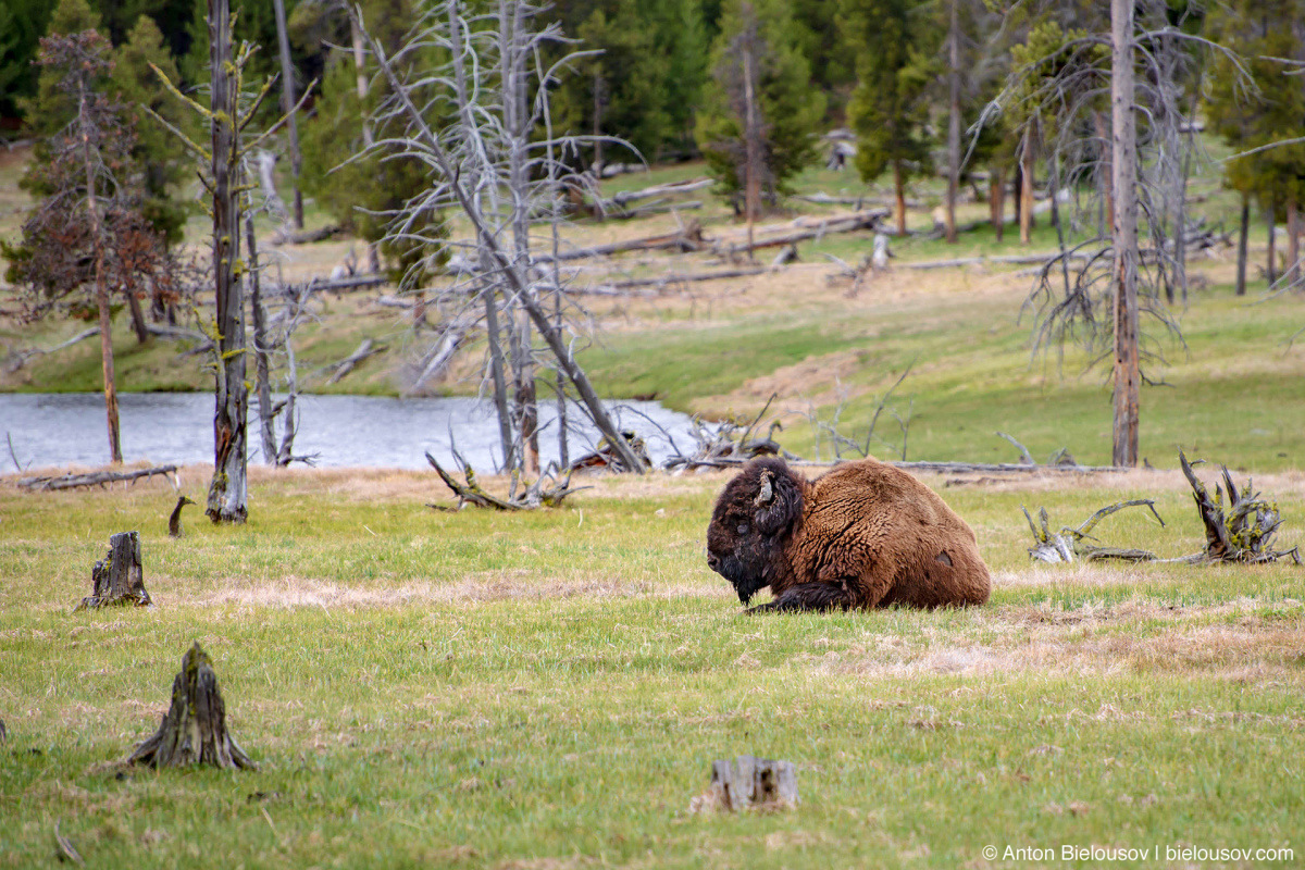 Bison — Yellowstone, NP