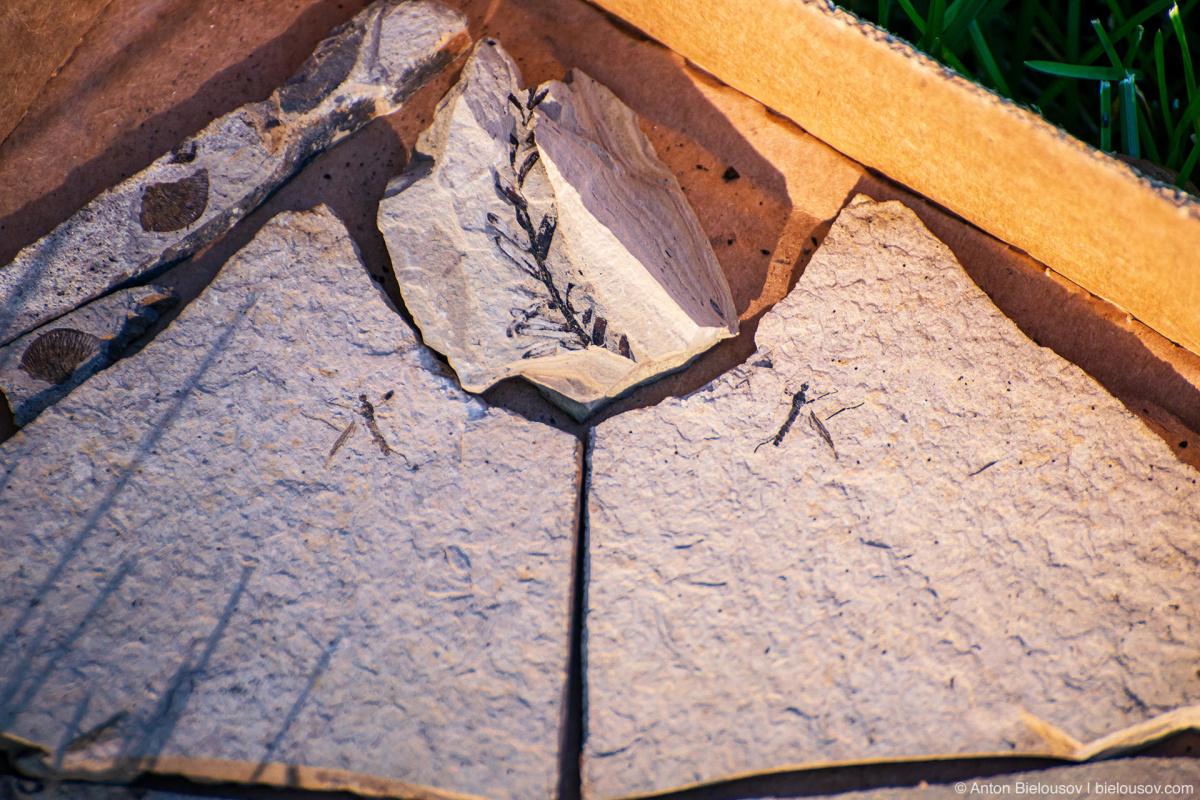 Fossilized diptera — Stonerose fossils site, Republic, WA